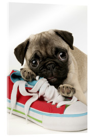 Cuadro de metacrilato  Pug pup and shoe - Greg Cuddiford