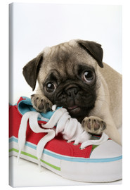 Lienzo  Pug pup and shoe - Greg Cuddiford
