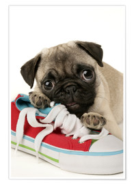 Póster  Pug pup and shoe - Greg Cuddiford