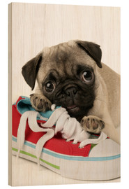 Madera  Pug pup and shoe - Greg Cuddiford