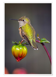 Póster  USA, Colorado. Hummingbird rests on flower bud. Credit as: Fred Lord / Jaynes Gallery / DanitaDelimo - Fred Lord