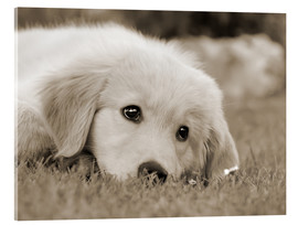 Metacrilato  Golden Retriever cute puppy, monochrom - Katho Menden