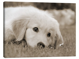 Lienzo  Golden Retriever cute puppy, monochrom - Katho Menden