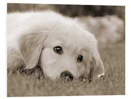 Cuadro de PVC  Golden Retriever cute puppy, monochrom - Katho Menden