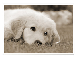 Póster  Golden Retriever cute puppy, monochrom - Katho Menden