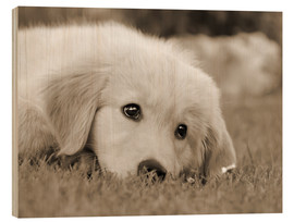 Madera  Golden Retriever cute puppy, monochrom - Katho Menden
