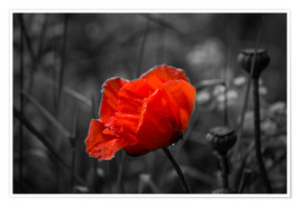 Póster Red poppy on black and white background