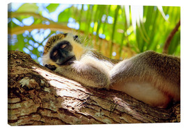 Lienzo  Green monkey sleeping, Barbados - Matteo Colombo