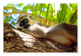 Póster  Green monkey sleeping, Barbados - Matteo Colombo
