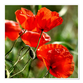 Póster  Luminous poppy on meadow - Dirk Driesen
