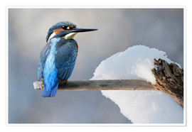 Póster  Kingfisher - WildlifePhotography