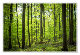 Póster Fresh Green - Beech forest in Harz