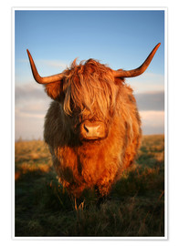 Póster Highland Coo