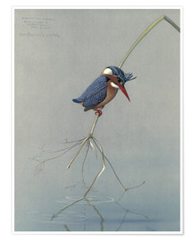 Póster  Pigmy Kingfisher - Louis Agassi Fuertes