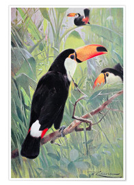 Póster  Great Toucan - Wilhelm Kuhnert