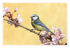 Póster Blue tit on a branch of cherry