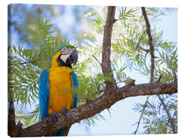 Lienzo  Blue and yellow macaw - Alex Saberi