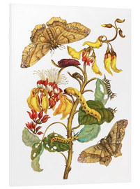 Forex  Coral tree and silkworm - Maria Sibylla Merian