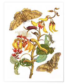Póster  Coral tree and silkworm - Maria Sibylla Merian