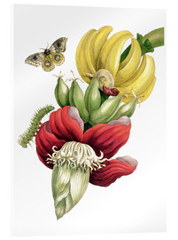 Metacrilato  Flowering banana and Automeris - Maria Sibylla Merian