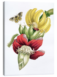 Lienzo  Flowering banana and Automeris - Maria Sibylla Merian