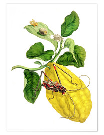 Maria Sibylla Merian - Citrus medica and longhorn beetles