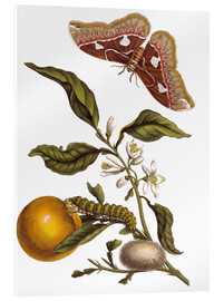 Cuadro de metacrilato  Orange and moths - Maria Sibylla Merian