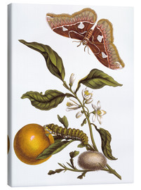 Lienzo  Orange and moths - Maria Sibylla Merian