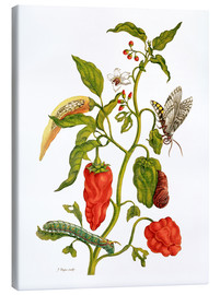 Lienzo  Peppers and insects - Maria Sibylla Merian