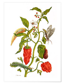 Póster  Peppers and insects - Maria Sibylla Merian
