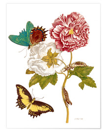 Póster  Roses with Lepidoptera Metamorphosis - Maria Sibylla Merian