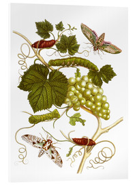 Cuadro de metacrilato  Vine and moths - Maria Sibylla Merian