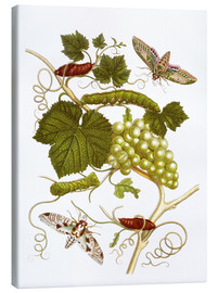 Lienzo  Vine and moths - Maria Sibylla Merian