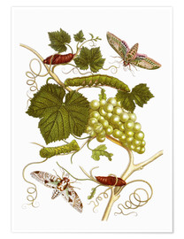Póster  Vine and moths - Maria Sibylla Merian