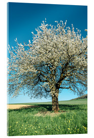 Cuadro de metacrilato  Blossoming cherry tree in spring on green field with blue sky - Peter Wey