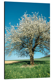 Cuadro de aluminio  Blossoming cherry tree in spring on green field with blue sky - Peter Wey