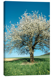 Lienzo  Blossoming cherry tree in spring on green field with blue sky - Peter Wey