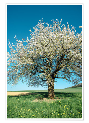 Póster Blossoming cherry tree in spring on green field with blue sky