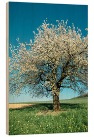 Cuadro de madera  Blossoming cherry tree in spring on green field with blue sky - Peter Wey
