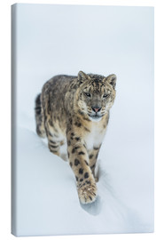 Lienzo  Snow Leopard in deep snow - Ingo Gerlach