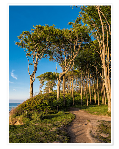 Póster Coastal forest on shore of the Baltic Sea