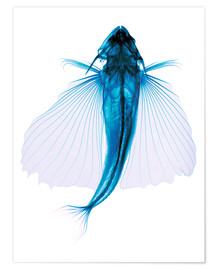 Póster  Flying fish, X-ray - D. Roberts