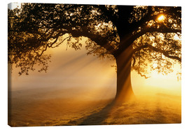 Lienzo  Oak tree at sunrise - Jeremy Walker