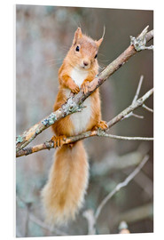 Forex  Red squirrel on a branch - Duncan Shaw