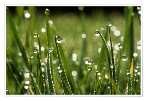 Póster Dew drops on grass