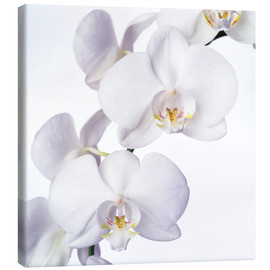 Lienzo  Orchid flowers - Johnny Greig