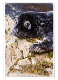 Póster  Grey seal pup - Duncan Shaw