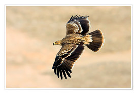 Póster  Eastern imperial eagle in flight - M. Schaef