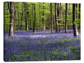 Lienzo  Bluebells in woodland - Adrian Bicker