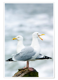 Póster  Two Herring Gulls - Duncan Shaw